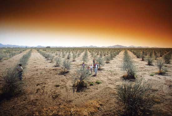 リア家は7,200本以上のオリーブの樹をクイーンクリーク・バレー(フェニックスから南東へおよそ65km)の100エーカーの農場で栽培している。Photo courtesy Queen Creek Olive Mill