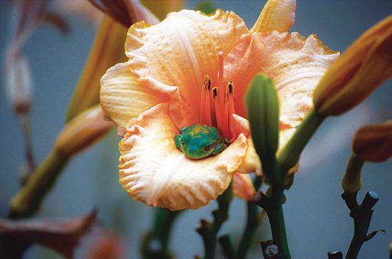 ワスレグサの花の中の蛙。インディアナ州ポーター。Photo by Athena Auksel