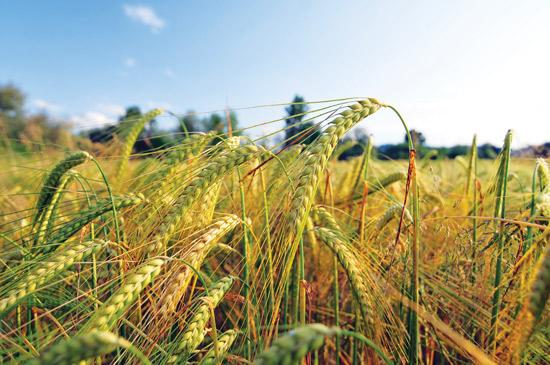 収穫間近になると、大麦は乾燥して緑から黄 色に変わり始める。