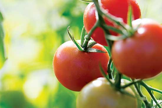 トマトの生産の邪魔をする、ナメクジ、アブラム、コナジラミを含む一般的な害虫。 Photo by Getty Images/Ignatiev