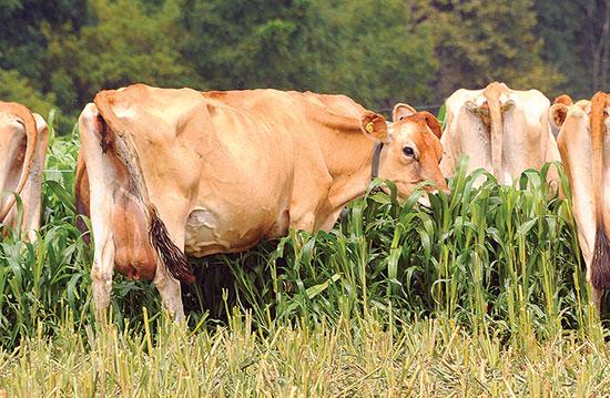 牧場主は、集中管理牧草地に飼料用コーンを生やすことで、干し草を用意する時季を短縮できる。