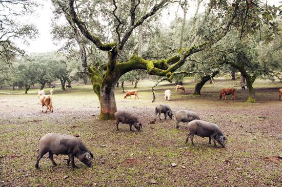 「デヘサ(dehesa)」 システムは、畜産物やオーク の木のコルク、低木層の植物などをもたらす。