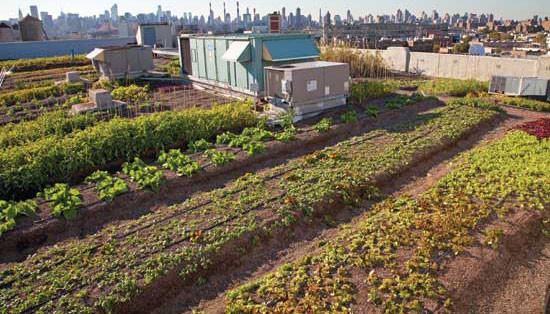 Brooklyn Grange は、Rooflite 培養土を高層ビル2ヶ所で使用し、全体で2.5エーカーの野菜畑と30養蜂箱の養蜂場になる。
