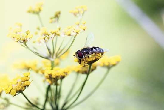 益虫を引寄せるものを植えると良い。こちらは、花に受粉しているハナアブ。Photo by Getty Images/hmproudlove
