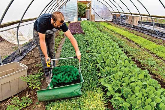 著者が、金網フェンスの上部手すりで作ったポリシートの温室内で、Quick Cut Greens Harvester で葉物を刈り込む。
