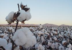 昔から天然繊維で重宝された木綿
