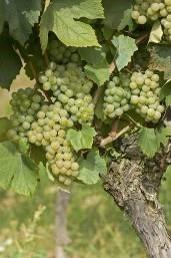 Baco Blanc Grapes