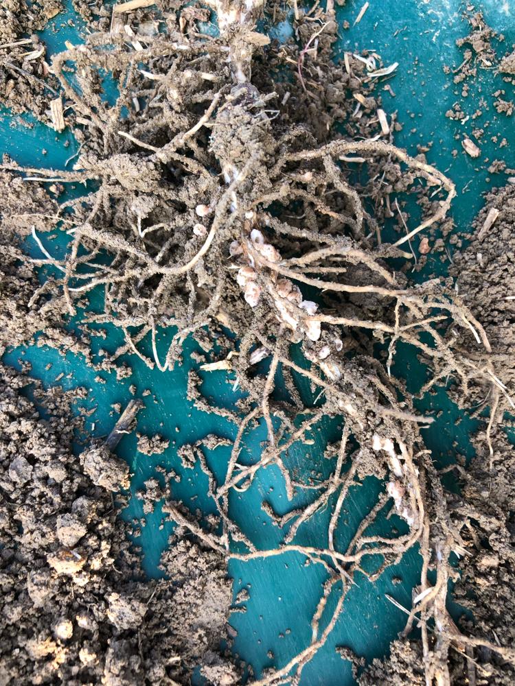 Knöllchenbakterien der Ackerbohne