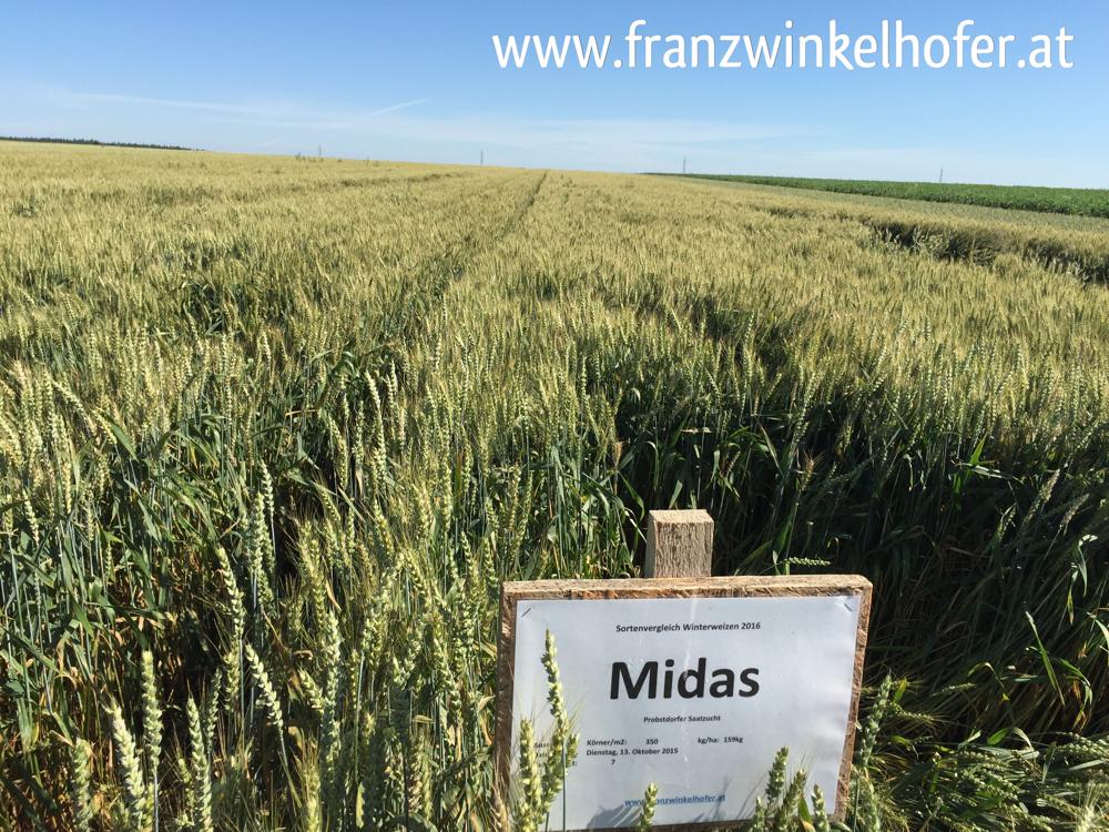 """Winterweizen """"Midas"""" am 5. Juli 2016, teilweise ins Lager gegangen"""
