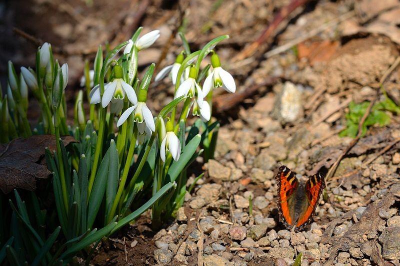 Schneeglöcken mit Schmetterling
