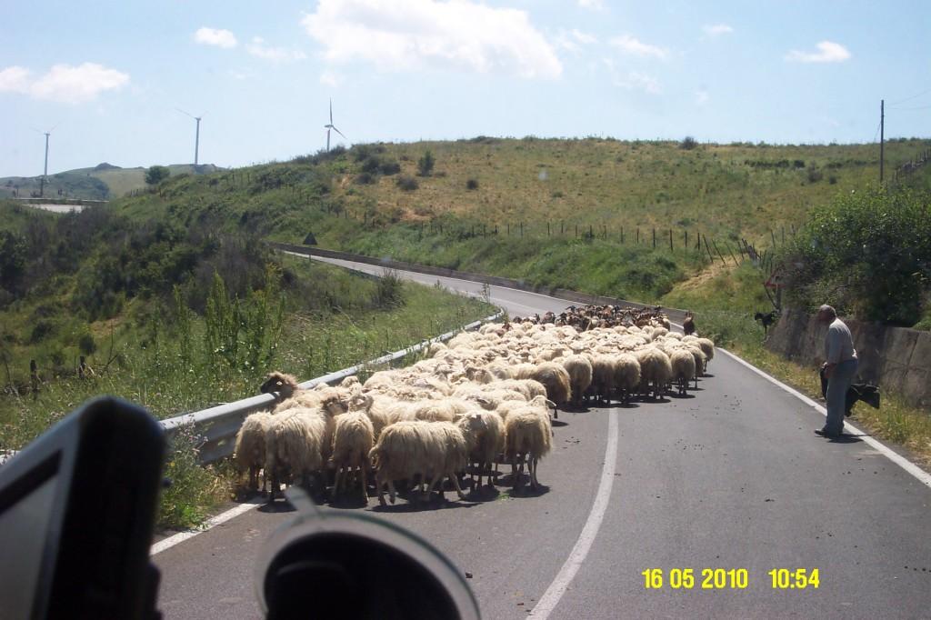 Schaf und Ziegenherden bunt gemischt