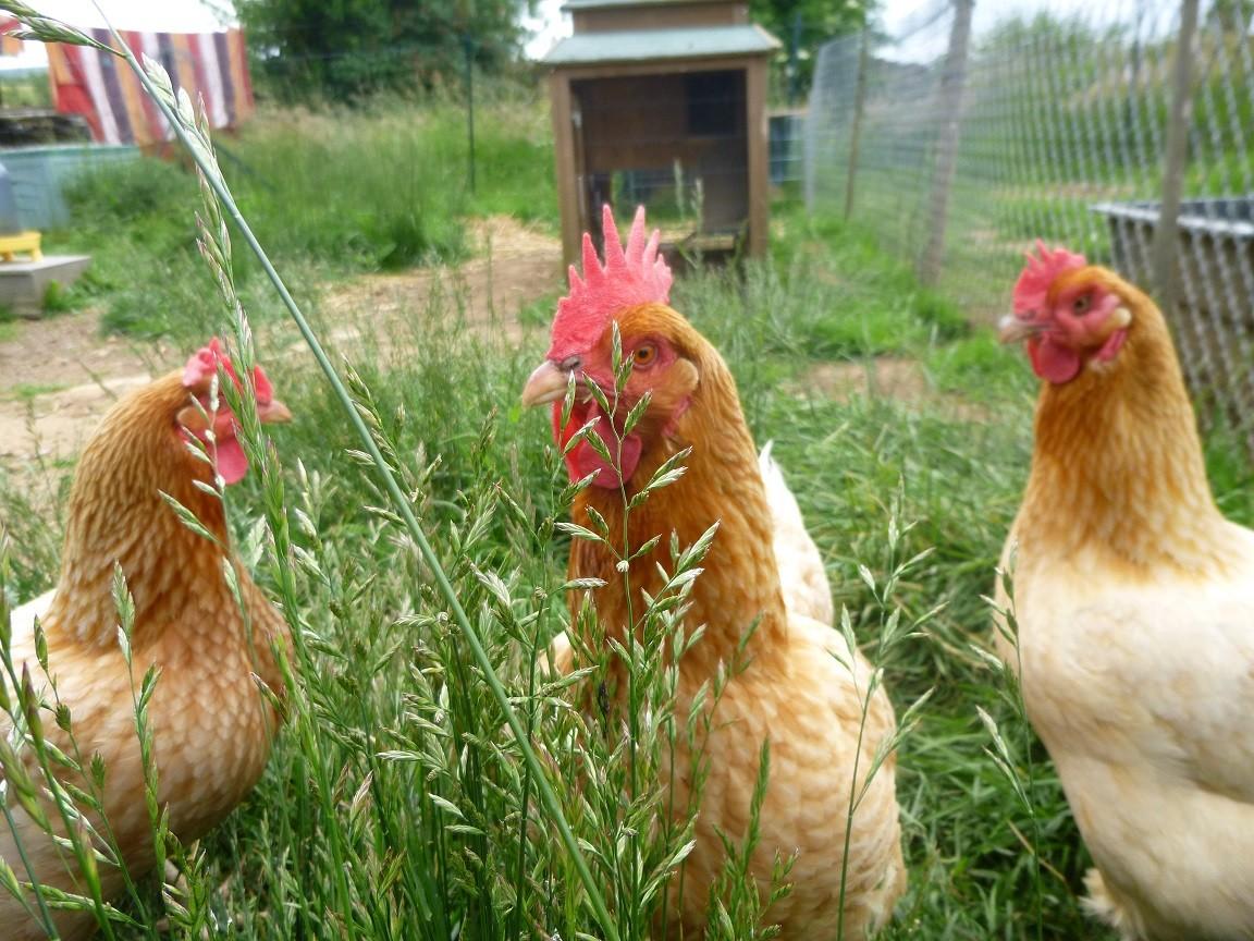 3 petites poules rousses