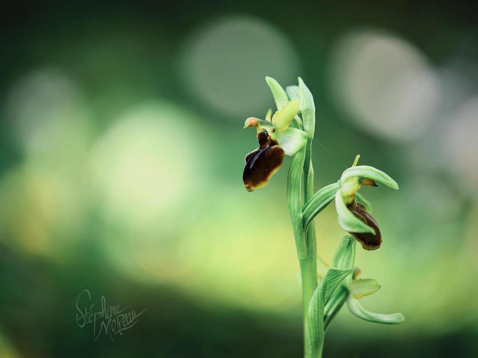 Orchidée en Anjou - Ophrys Aranifera