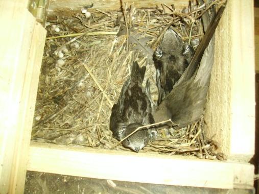 Altvogel mit 2 Jungvögeln