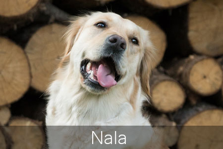 Golden Retriver Nala