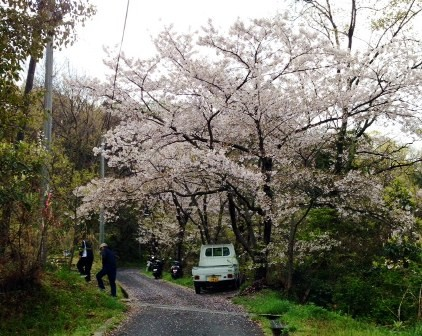 桜がお出迎え