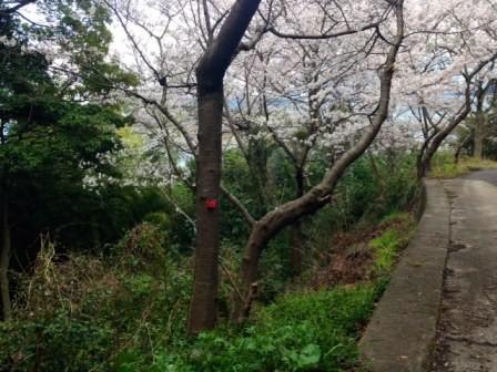 桜に赤い椿?