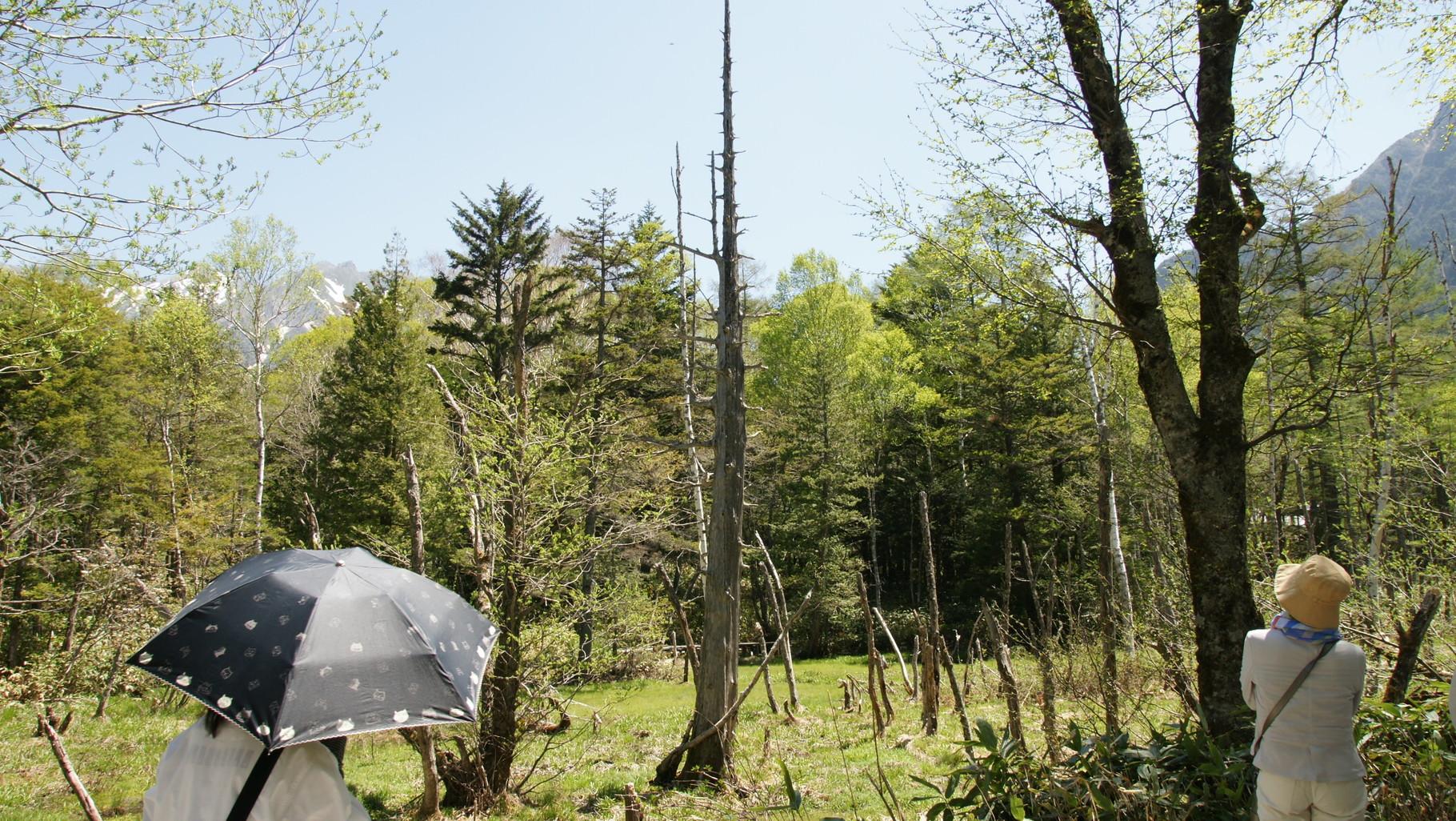 立派な立ち枯れ木