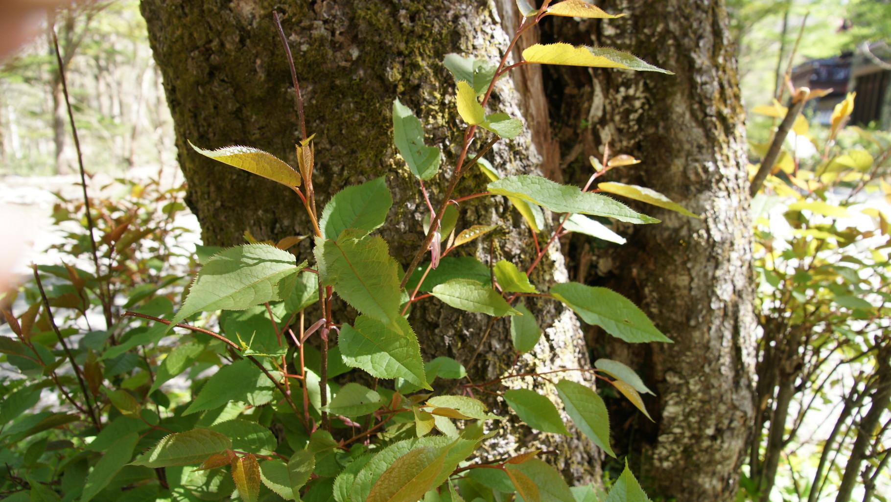 シウリザクラ(枝折桜)についている芽鱗(がりん)、冬の間芽を包んで守っている、ピンク色できれい。