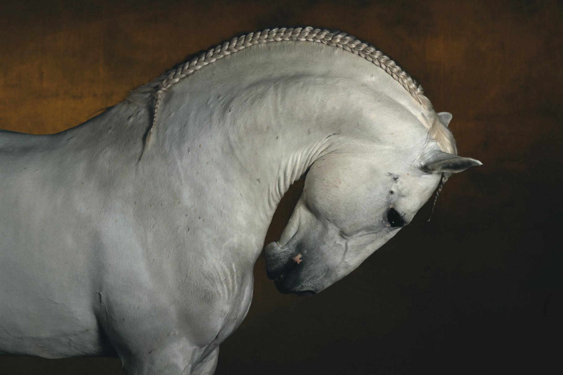 Etalon pur-sang-lusitanien Dao de Courenne ©Yann Arthus-Bertrand