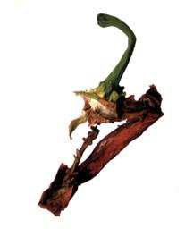 Emincé de poivron rouge en Fée Carabosse