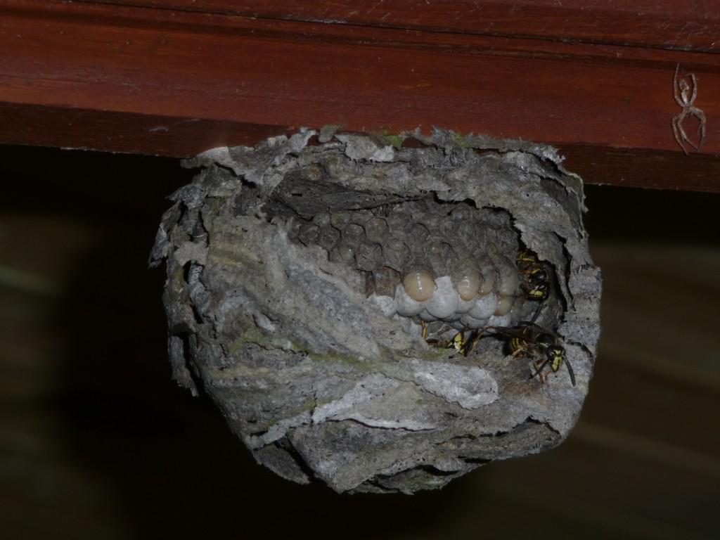 Nestaufbau Sächsische Wespe. Foto: Stimmler