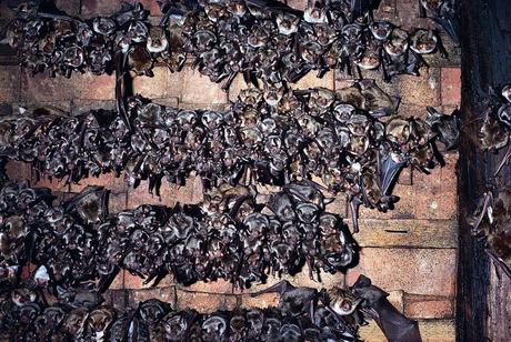 Wochenstube des Großen Mausohrs in einem Kirchdachboden. Foto: M. Hammer