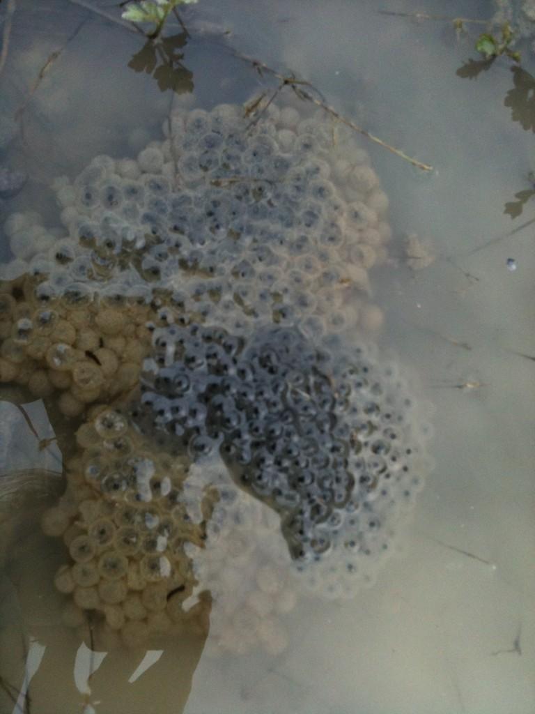 Froschlaich