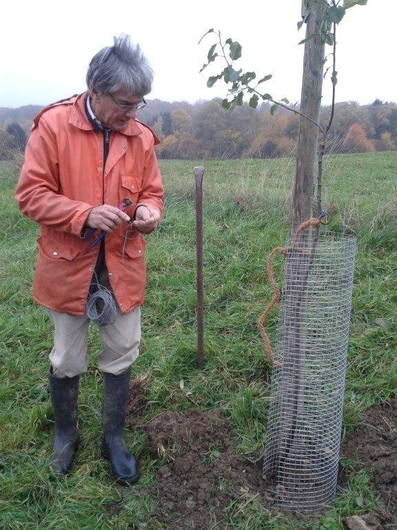 Axel Hagedorn bringt Verbissschutz an einem Apfelbaum an
