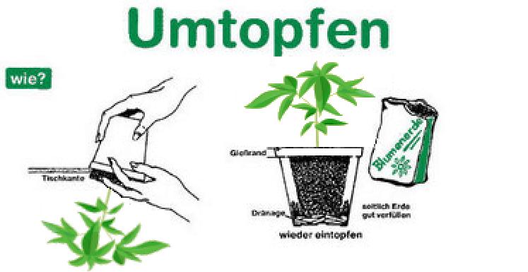 wie man cannabis umtopft