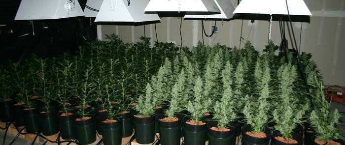 autoflowering cannabis beleuchtung
