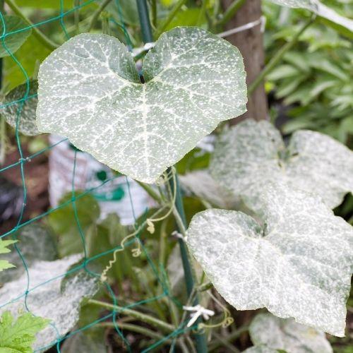 Mehltau auf Pflanze 3