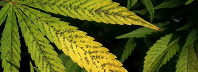 Mangan Mangel Cannabis