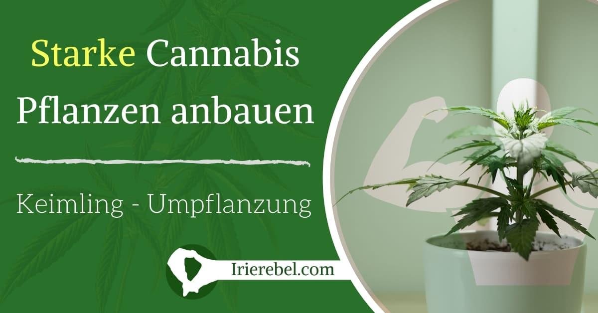 Wie man starke Cannabis Pflanzen anbaut - Vom Keimling bis zur Umpflanzung