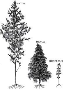 Hanf Cannabis Sativa, Indica und Ruderalis