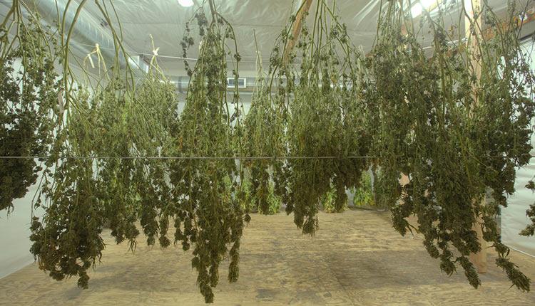 Die Cannabis Pflanzen (Ernte) aufhängen