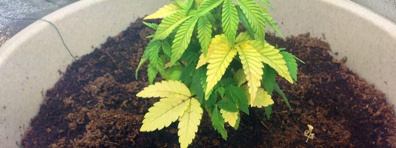 Überbewässerung Cannabis