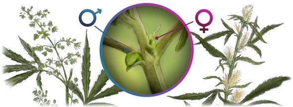 männliche & weibliche Cannabis Pflanze