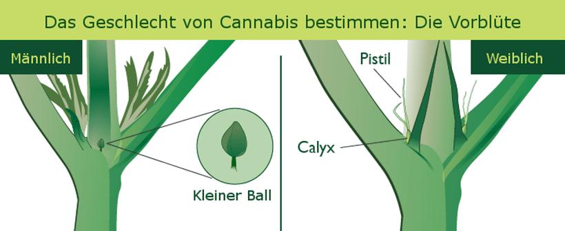 Das Geschlecht Ihrer Pflanzen bestimmen