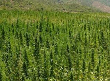cannabis outdoor anbau zyklus