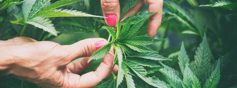 Trainieren der Pflanzen durch Beschneidung
