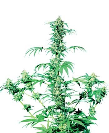 Early Girl® Hanfsamen Cannabis Samen