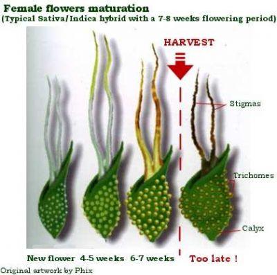 Der richtige Erntezeitpunkt für Cannabis Hanf. Erkennung an den Blüten, Calyx  & Trichomen