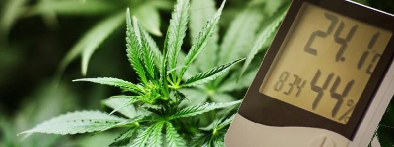Temperatur und Luftfeuchtigkeit Cannabis