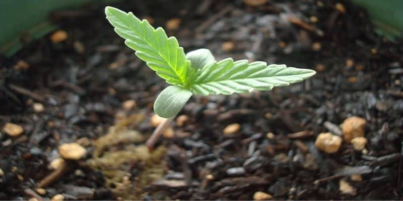 cannabis sämling stadium
