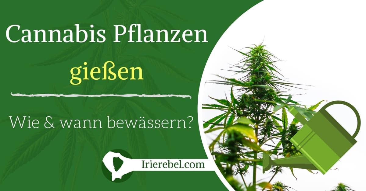 cannabis pflanzen gießen