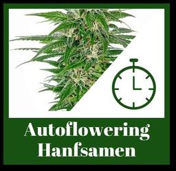 Autoflowering Hanfsamen bzw. Automatic Cannabis Samen