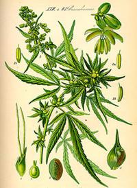 Hanf - Cannabis Übersicht