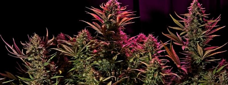 Autoflowering Samen Indoor Anbau