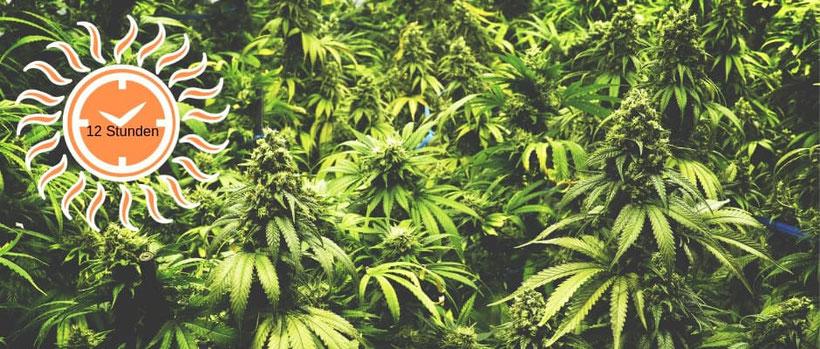 Kann man autoflowering Pflanzen auch mit einem 12/12-Beleuchtungsplan anbauen?
